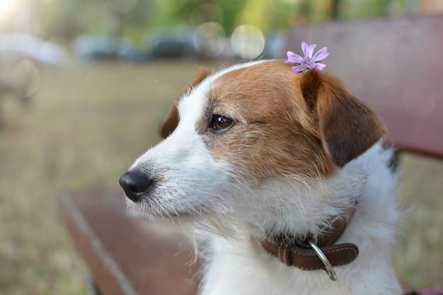 Retrato, de, um, cute, jaque russell cachorro, sentando, ligado, um, madeira, bote, ligado, um, parque Foto Premium