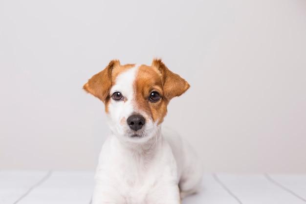 Retrato de um jovem cão pequeno bonito deitado no chão de madeira branco, Foto Premium