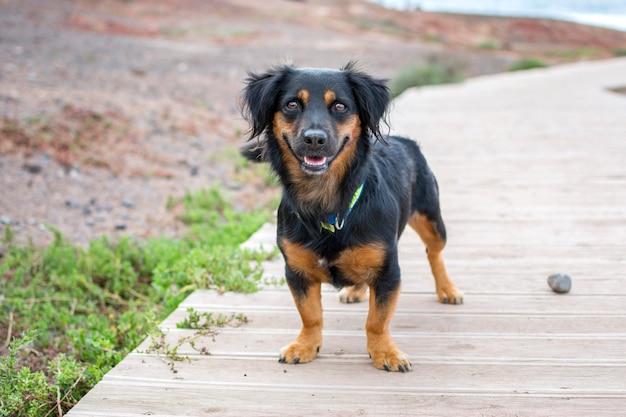 Retrato de um lindo dachshund preto, olhando para a câmera, ao ar livre, perto do mar. Foto Premium