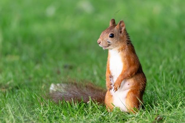 Retrato de um lindo esquilo na grama Foto gratuita