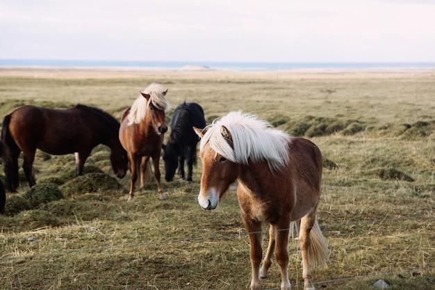 Retrato, de, um, marrom, islandês, cavalo, ligado, um, prado Foto Premium