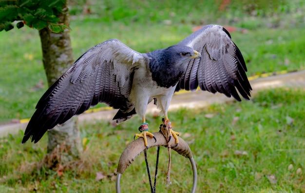 Retrato de um pássaro incrível do sul da américa Foto Premium