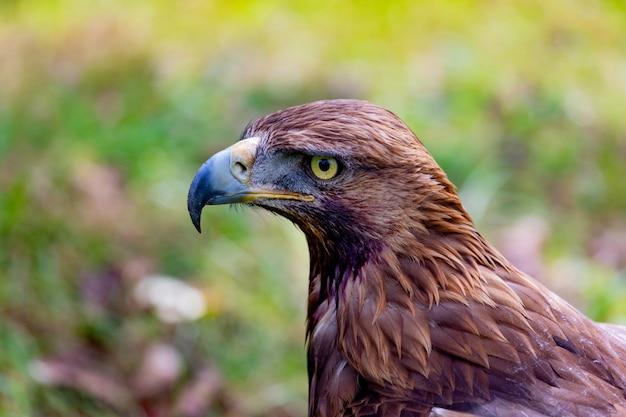 Retrato de uma águia dourada Foto Premium