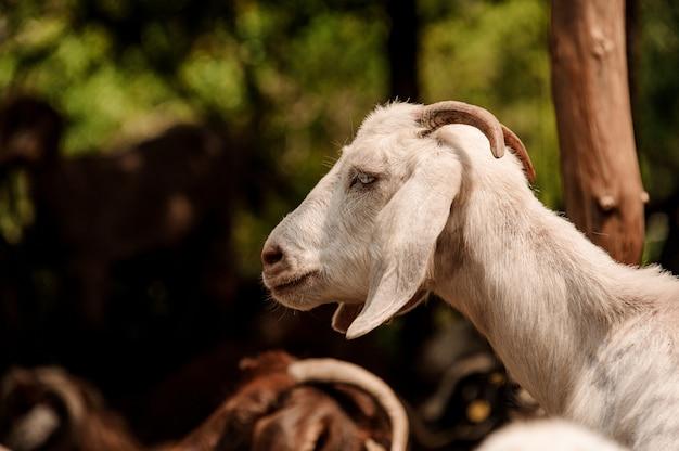 Retrato de uma cabra branca com pequenos chifres ao ar livre Foto Premium