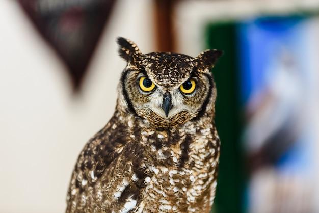 Retrato de uma coruja de águia, bubão do bubão, cativo de olhos brilhantes em um festival da falcoaria. Foto Premium