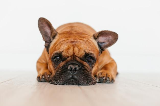 Retrato do buldogue francês marrom bonito em casa e. expressão engraçada e divertida. animais de estimação em ambientes fechados e estilo de vida Foto Premium