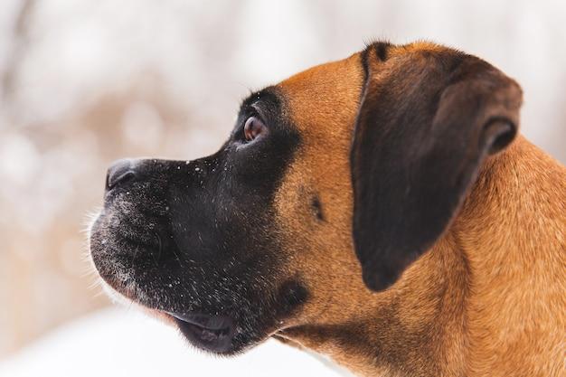 Retrato do cão pedigreed marrom na neve. boxer. Foto Premium