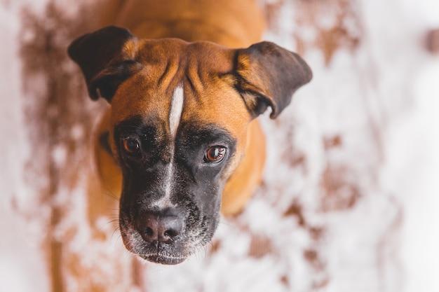 Retrato do cão pedigreed marrom que senta-se na casa de madeira. boxer Foto Premium