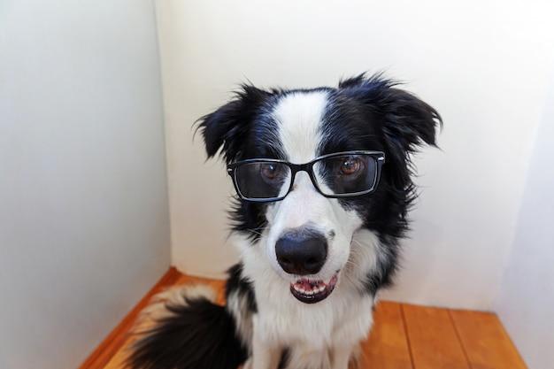 Retrato do estúdio do cão de cachorrinho de sorriso border collie nos monóculos na parede branca em casa. cão pequeno que olha nos vidros internos. de volta à escola. estilo nerd legal. conceito de vida de animais de estimação engraçado. Foto Premium