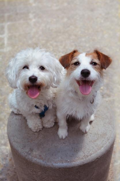Retrato dois cães felizes que sentam-se e que escureiam a língua. Foto Premium