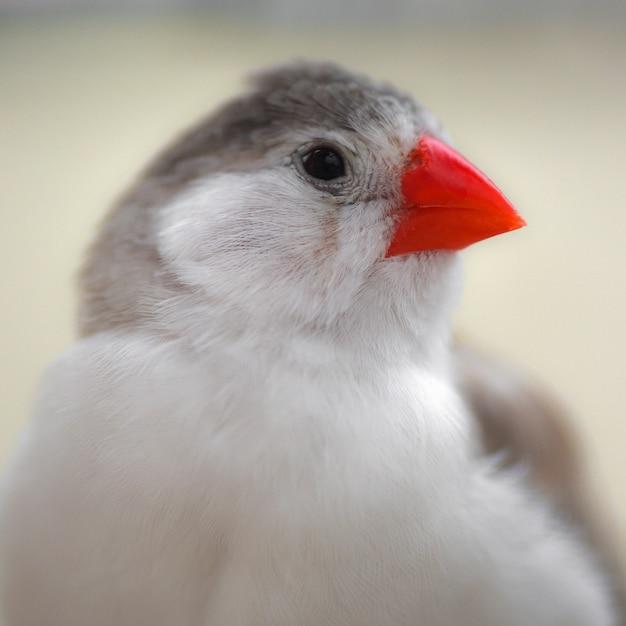Retrato sobre um pequeno pássaro canoro fofo, sobre o tentilhão Foto Premium