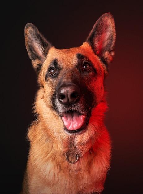 Retrato vertical de um cão doméstico fofo tipo pastor alemão Foto gratuita