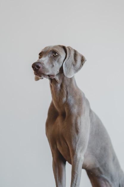 Retrato vertical de um tipo de cachorro weimaraner azul em um cinza Foto gratuita