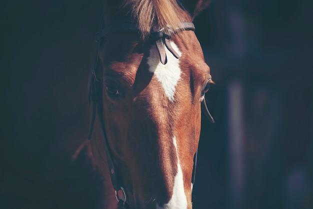 Retratos de cavalo castanho Foto Premium