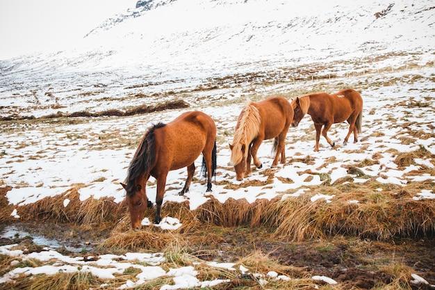 Retratos de cavalos de corrida islandesa em uma montanha de neve Foto Premium