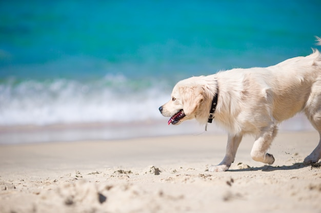 Retriever dourado lindo brincando nas ondas do mar em um dia ensolarado Foto Premium
