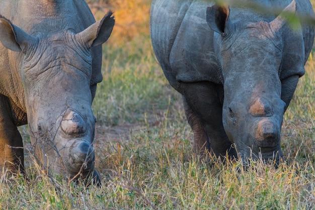 Rinoceronte ao pôr do sol em um safari na áfrica do sul Foto Premium
