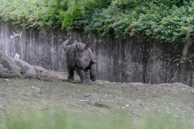 Rinoceronte branco correndo em um zoológico cercado por cercas de madeira e vegetação Foto gratuita