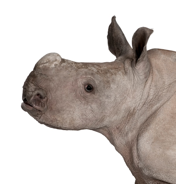 Rinoceronte branco jovem ou rinoceronte de lábios quadrados - ceratotherium simum em um branco isolado Foto Premium