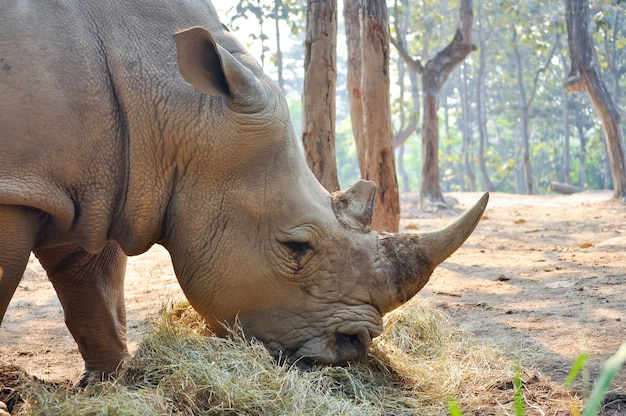 Rinoceronte branco Foto Premium