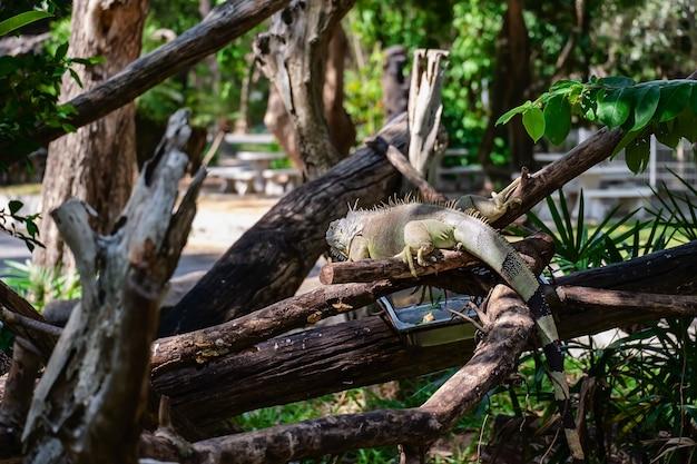 Rinoceronte iguana (cyclura cornuta) na natureza Foto Premium