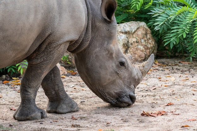 Rinoceronte ou rinoceronte perto acima do tiro. Foto Premium