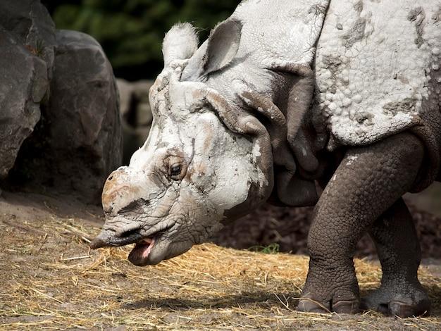 Rinoceronte um retrato Foto Premium