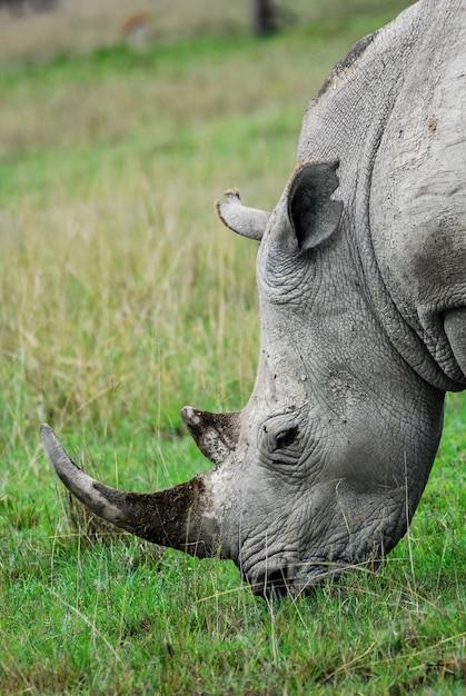 Rinoceronte Foto Premium