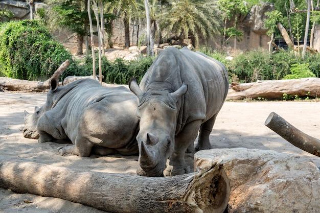 Rinocerontes em um dos parques da tailândia Foto Premium
