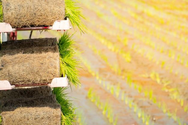 Rolos de mudas de arroz para preparar agricutural na placa no campo de arroz Foto Premium