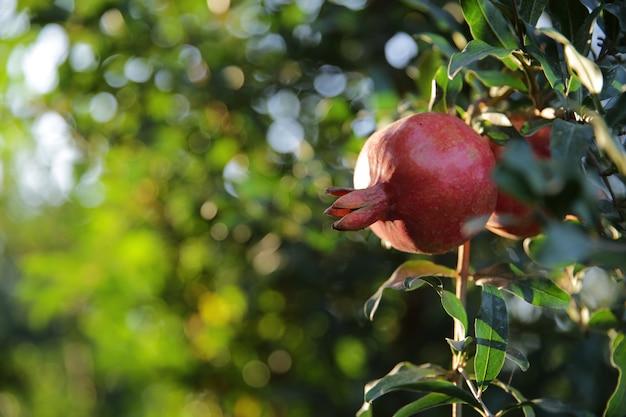 Romã fresca na árvore Foto gratuita
