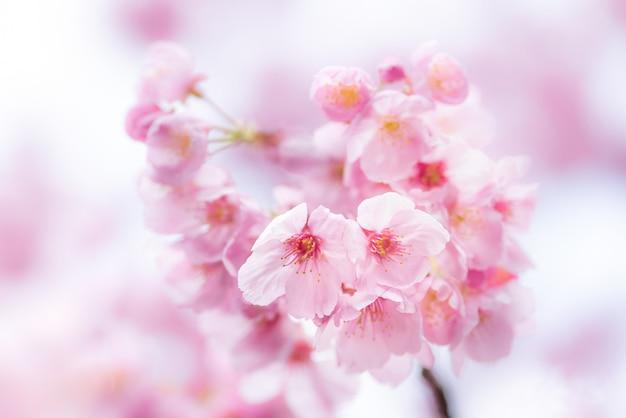Romântica flor de cerejeira, sakura na primavera Foto Premium