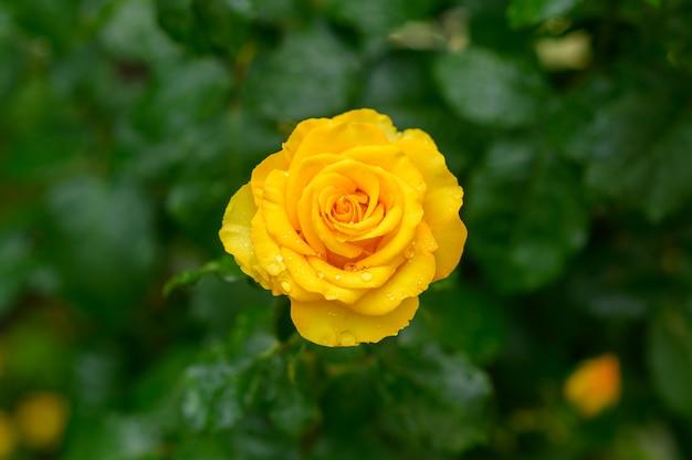 Rosa amarela com gotas de água Foto gratuita