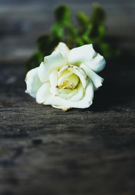 Rosa branca seca bonita no fundo de madeira do grunge Foto Premium