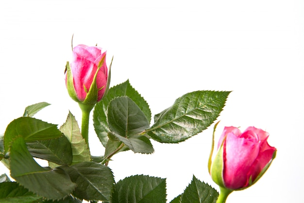 Rosa fresca rosa Foto Premium