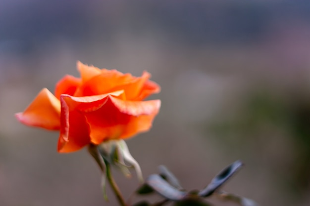 Rosa laranja em fundo desfocado para papel de parede e cartão de feriado com desfocar primeiro plano. Foto Premium