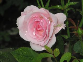 Rosa, molhada Foto gratuita
