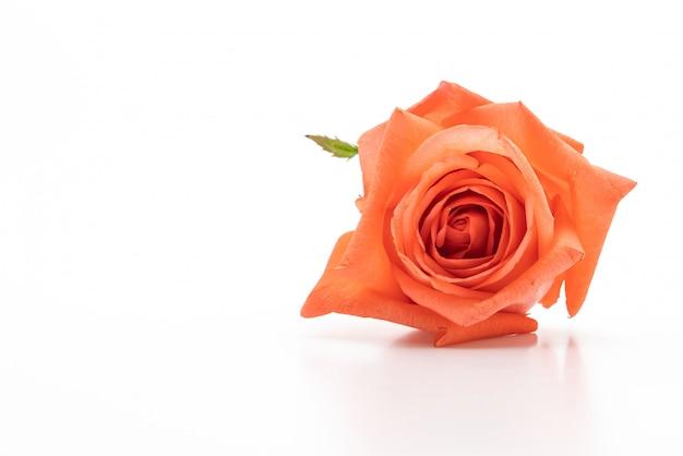 Rosa rosa em fundo branco Foto Premium