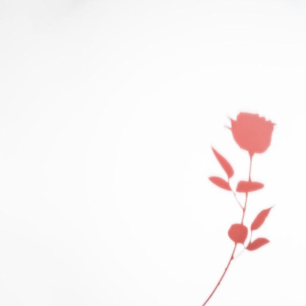Rosa rosa sombra isolada no fundo branco Foto gratuita