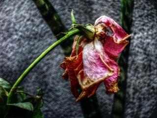 rosa seco, triste Foto gratuita
