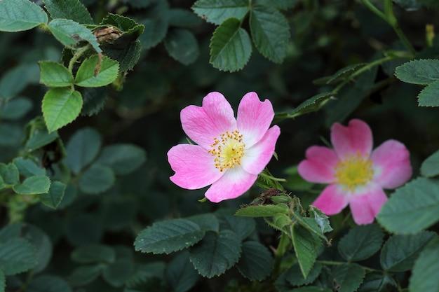 Rosa selvagem em folhas verdes Foto Premium