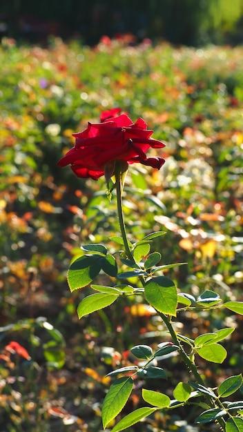Rosa vermelha a luz para o fundo claro bonito borrado. Foto Premium