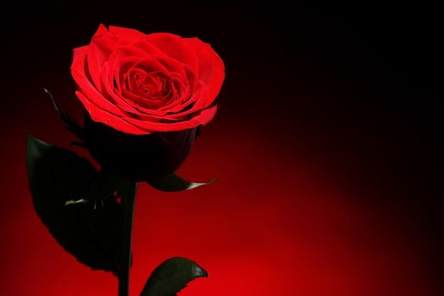 Rosa vermelha na escuridão Foto gratuita