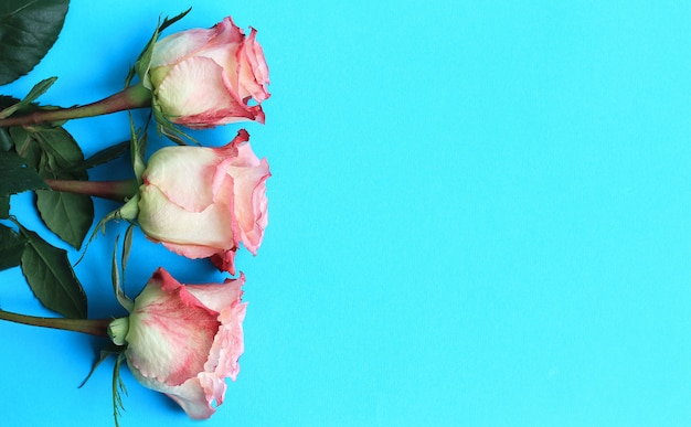 Rosas cor de rosa na placa de fundo azul Foto Premium