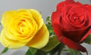 Rosas Vermelhas E Amarelas Baixar Fotos Gratuitas