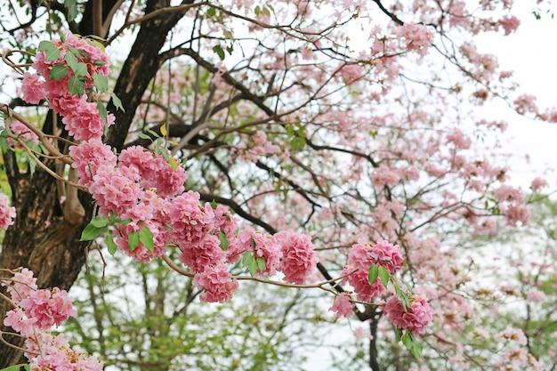 Rosea de tabebuia ou árvores de trombeta bonitas que florescem na estação de mola. flor rosa no parque. Foto Premium