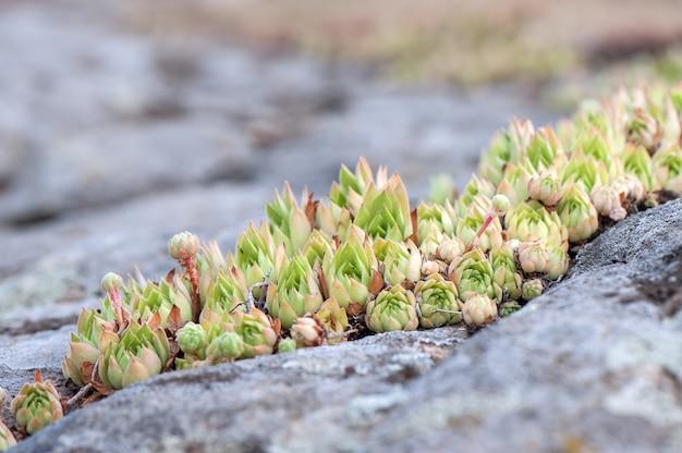 Rosetas de alguma planta suculenta selvagem crescendo nas rochas. Foto Premium