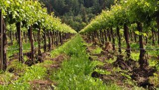 Row vineyard Foto gratuita
