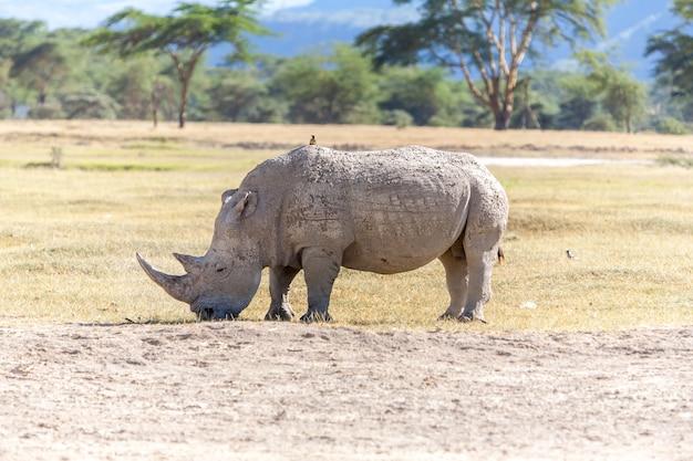 Safari - rinoceronte Foto gratuita