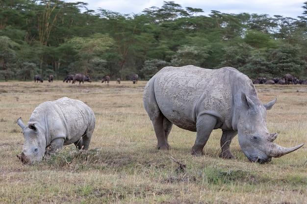 Safari - rinocerontes Foto gratuita